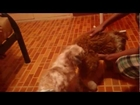 Funny Japanese dog mating with a stuffed toy dog..